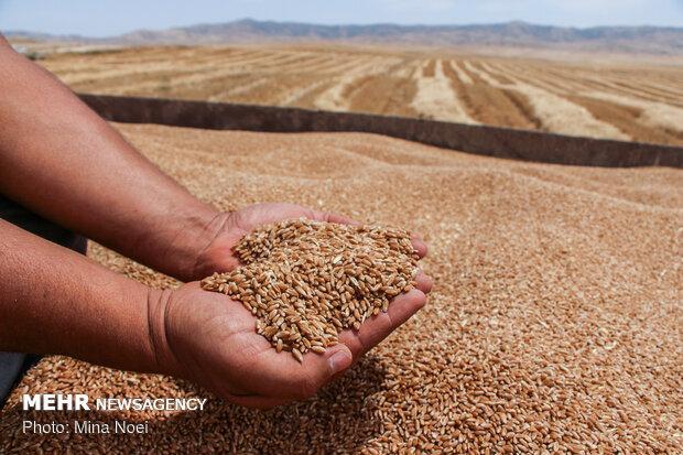 کمبود بذر گندم در خراسان رضوی