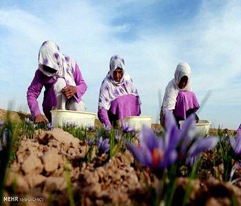 دلالان از شرکتهای تعاونی در خرید زعفران سبقت گرفتند