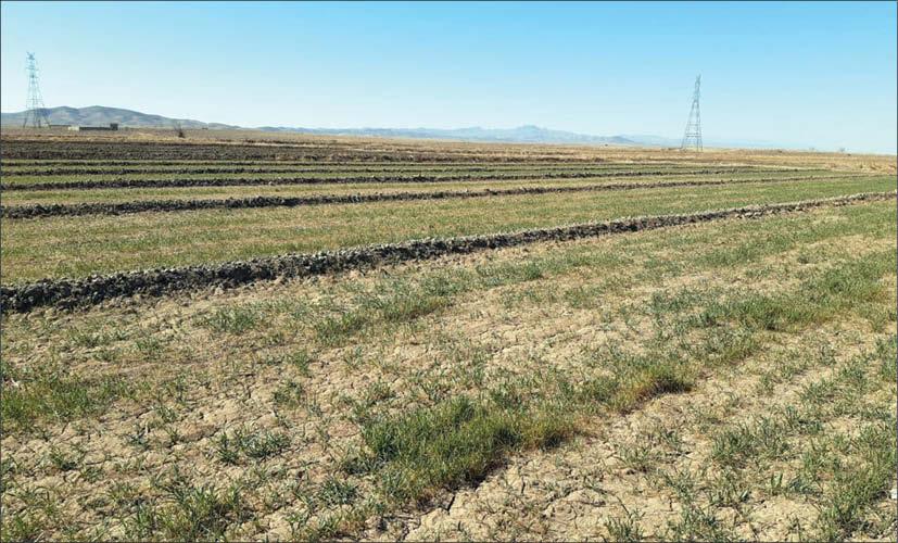 مزارع گندم خوشاب
